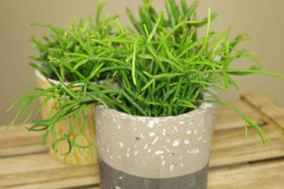 Rhipsalis cacti